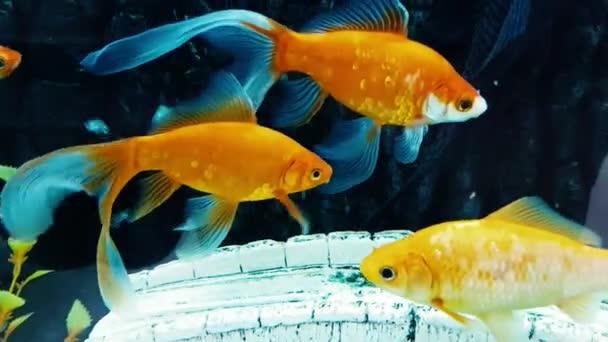 Gyönyörű aranyhal üstökös úszni az akváriumban víz