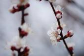 Krásný ovocný strom kvete, jarní čas meruňkový květ