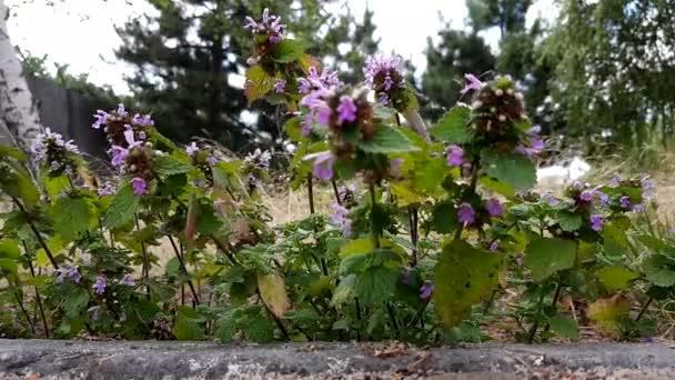 wild violet flowers grow in summer field