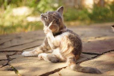 Kitten paw scratches behind the ear, summer outdoor portrait. Fleas and ticks in domestic animals