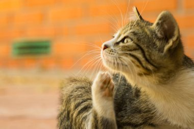 Tabby kitten paw scratches behind the ear. Fleas and ticks in domestic animals.