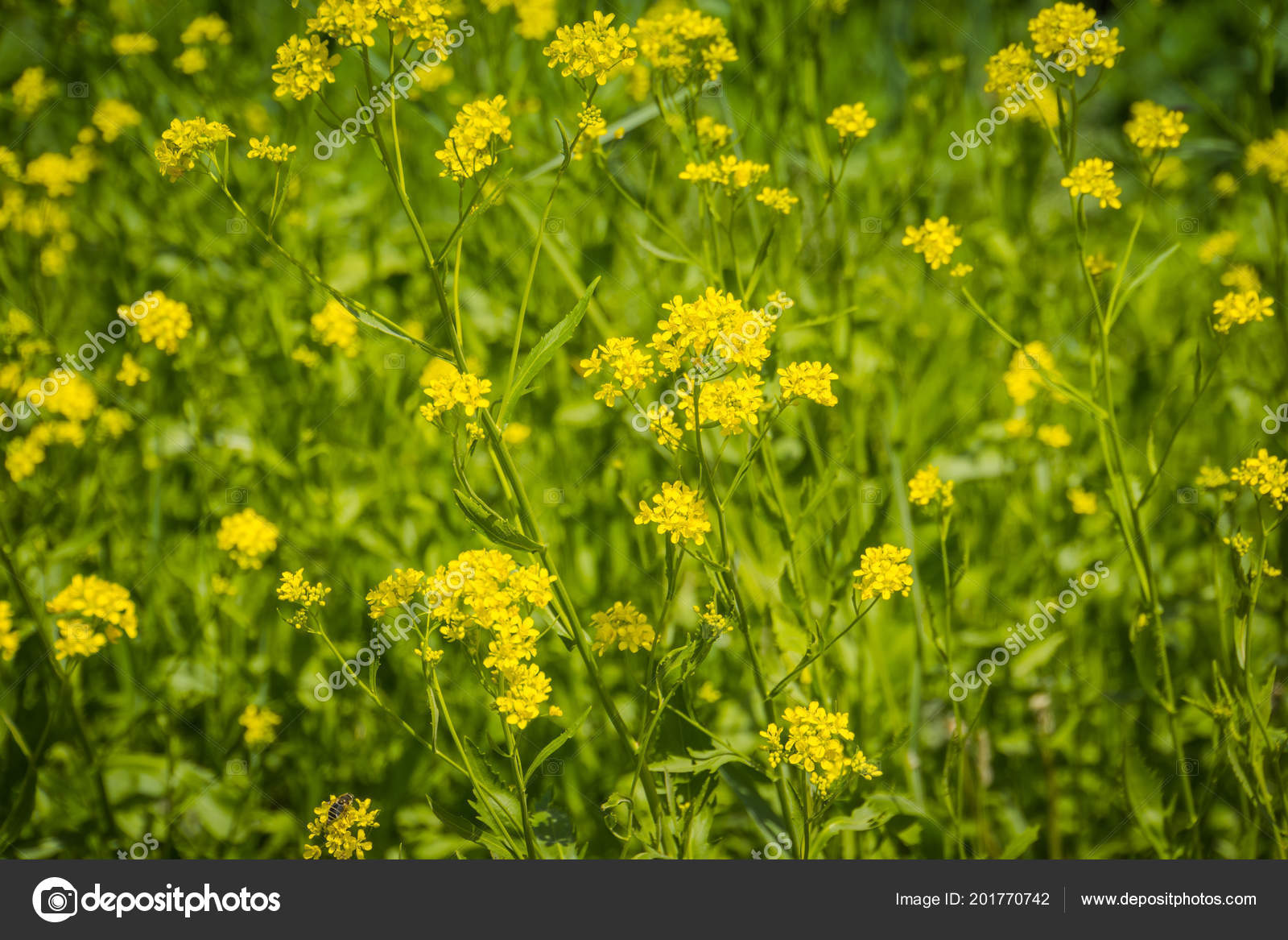 Wild Yellow Flowers Blooming Summer Grass Field Stock Photo