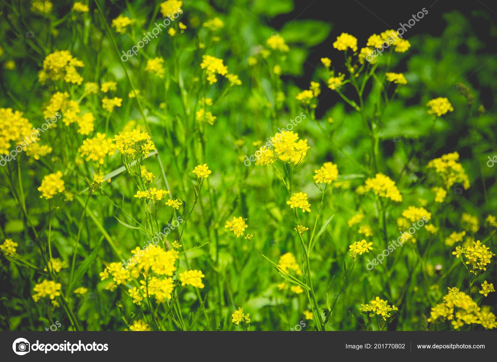 Wild yellow flowers blooming summer grass field stock photo wild yellow flowers blooming summer grass field stock photo mightylinksfo