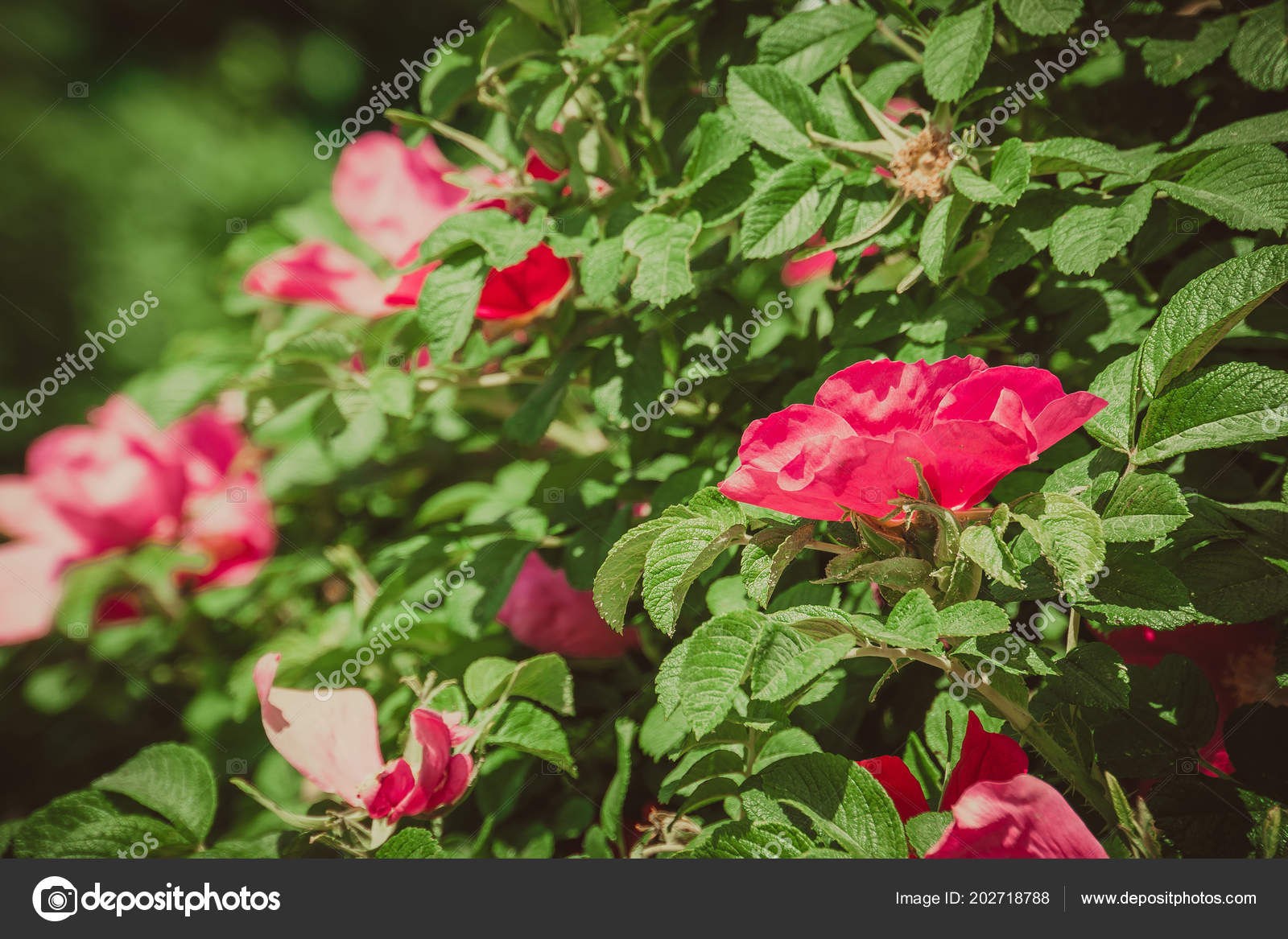 Blooming Briar Flowers Bright Pink Color Bushes Filtered Stock