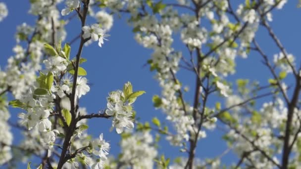 Stromy v zahradě kvetou bílými květinami