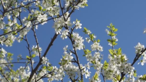 Trees in the garden blooming with white flowers