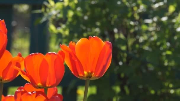 Jasně Rudé tulipány květiny foukající v letním větru.
