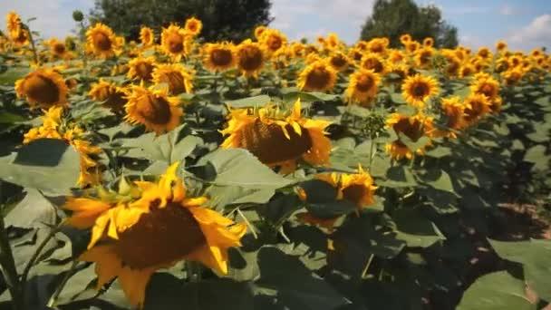 Pole slunečnic. Velká květina slunečnice.