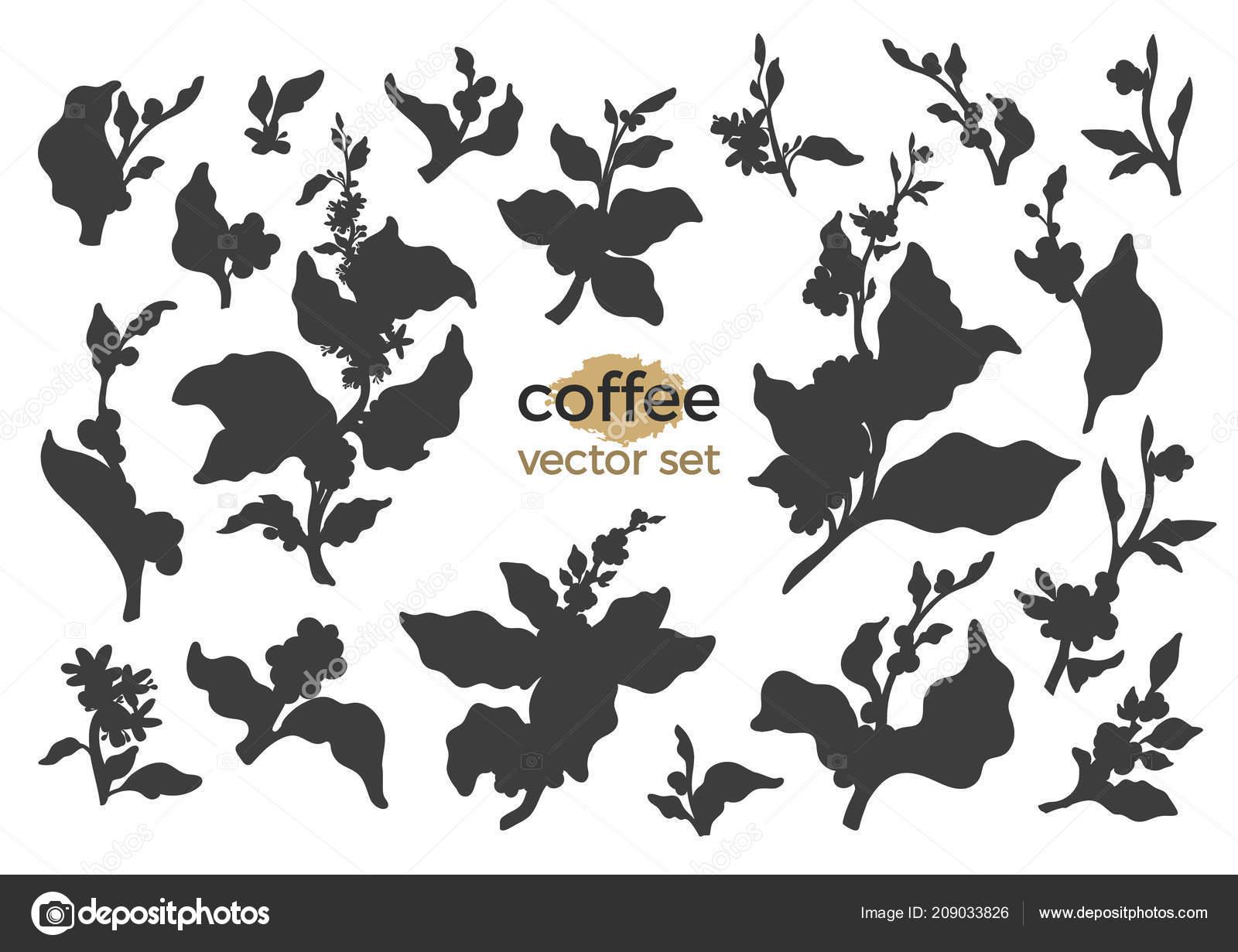 Insieme Vettore Del Ramo Albero Caffè Foglie Bean Botanico Sagoma