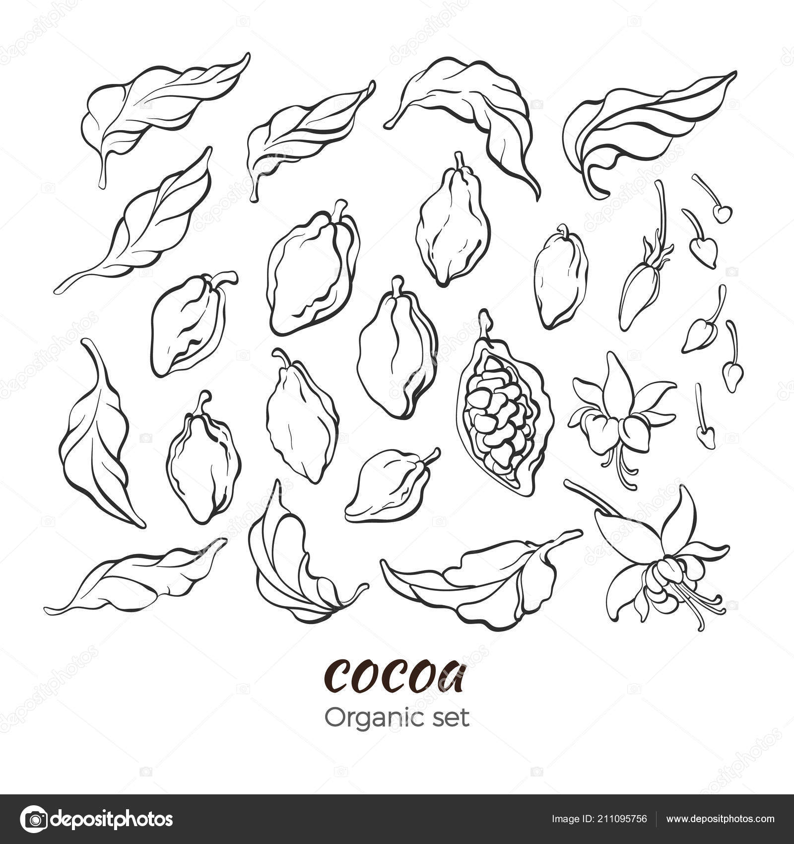 Vector set of cocoa tree leaves fruit bean flower sprout bud simple art line drawing collection organic natural sweet food bio drink