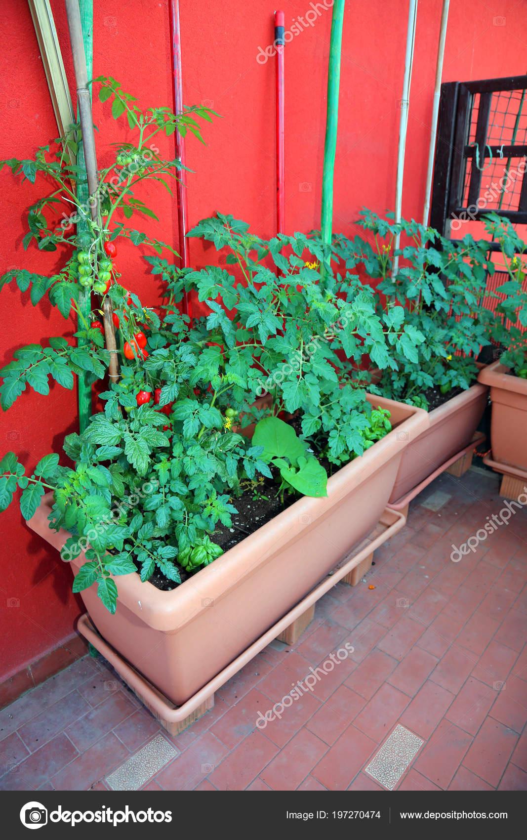 Una Terraza Una Casa Ciudad Con Macetas Para Cultivo Tomates