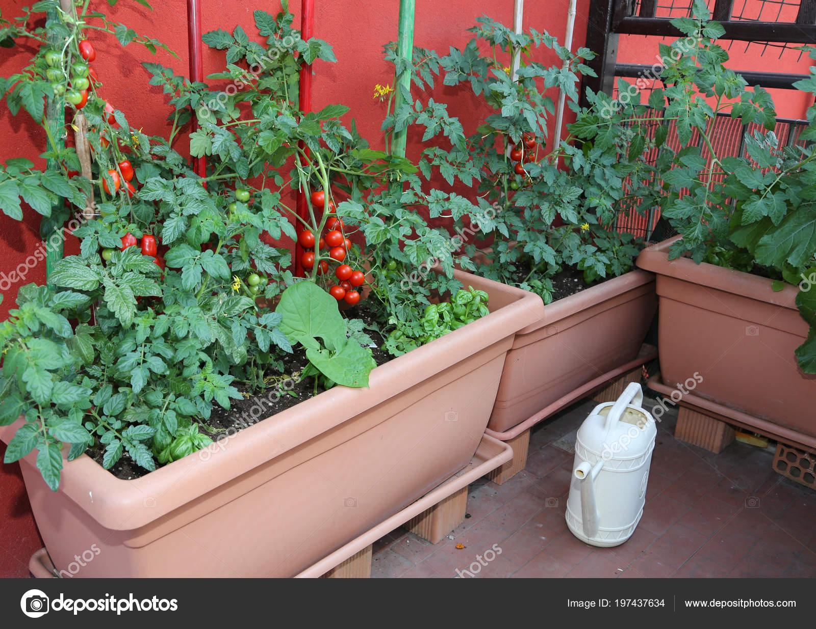 Montón Macetas Con Plantas Tomate Una Regadera Amarilla