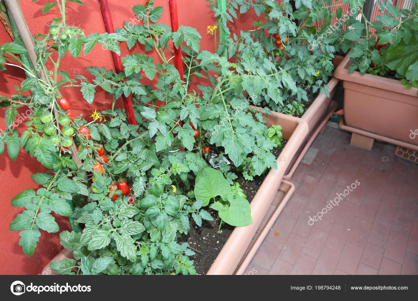 Agricultura Sostenible Como Cultivo Tomates Macetas Terraza