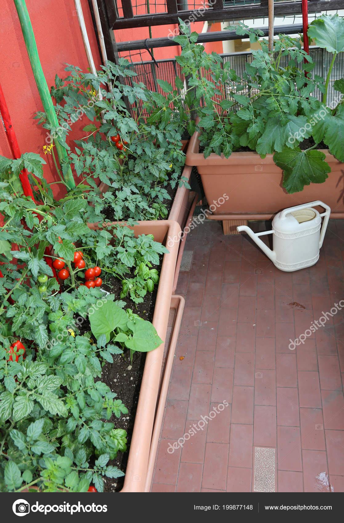 Cultivo Tomates Macetas Terraza Una Casa Del Condominio Una