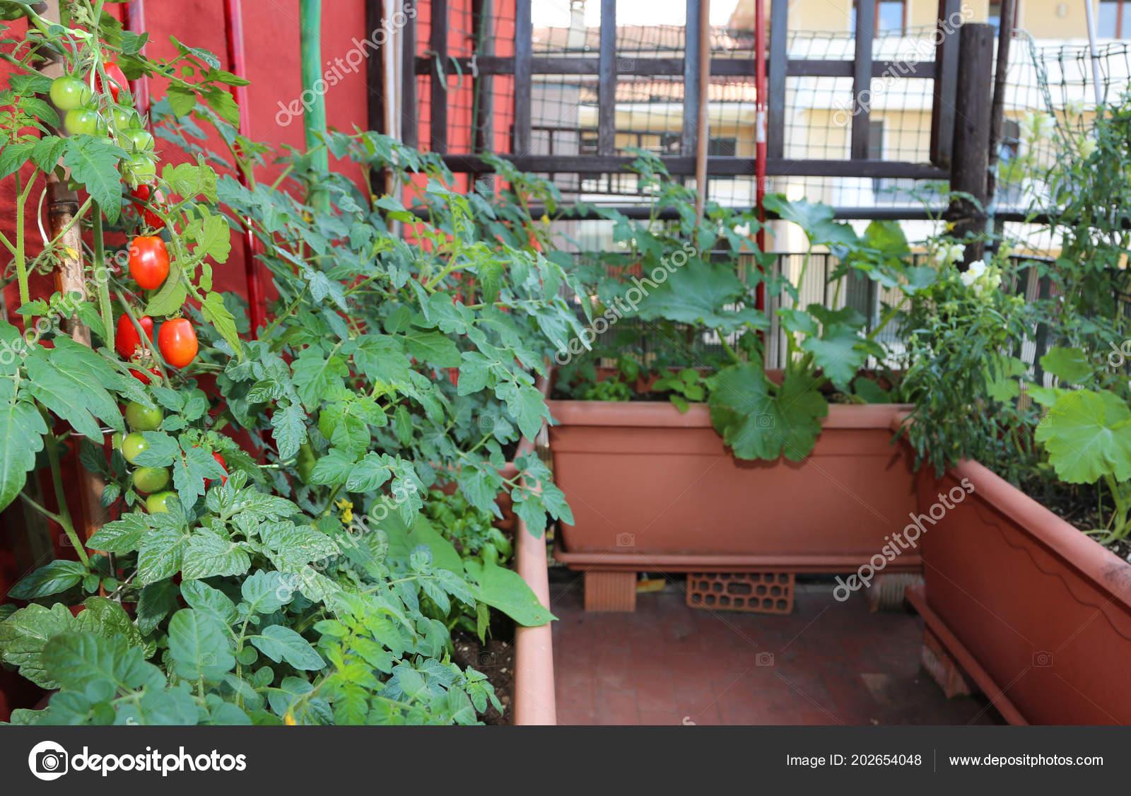 Cultivo Tomates Cherry Grandes Macetas Terraza Casa Ciudad