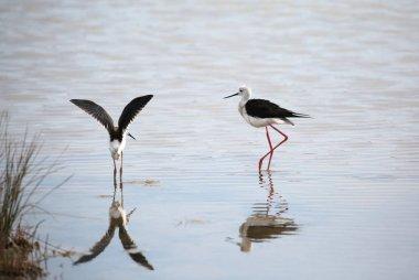 "Картина, постер, плакат, фотообои ""две птицы, называемые черное крыло ходули с клювом на воде болота "", артикул 224996724"