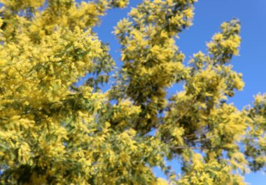 yellow mimosas flowers in spring and blue sky