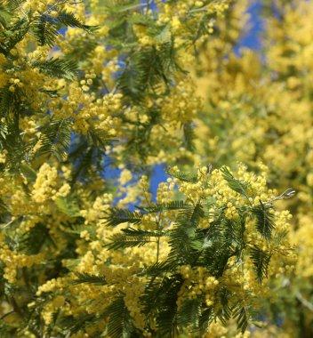 yellow mimosas flowers