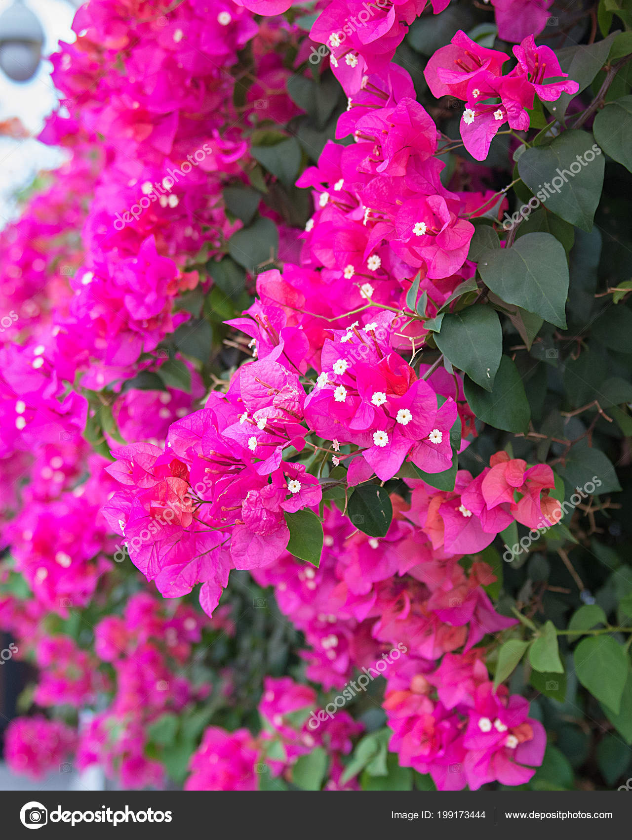 Beautiful tropical flowers the bush strizhennom ratut many bright beautiful tropical flowers the bush strizhennom ratut many bright juicy colors in hot climates tropical asia photo by juliza03 izmirmasajfo