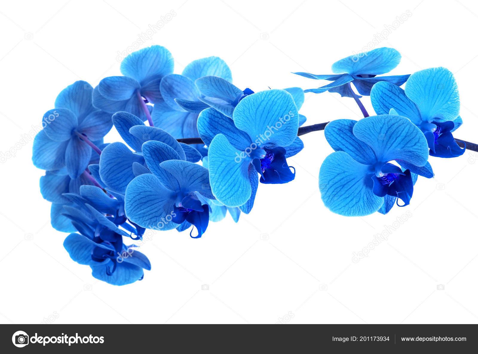 Bella Orchidea Blu Senza Sfondo Fiori Di Orchidea Blu Luminosi Su