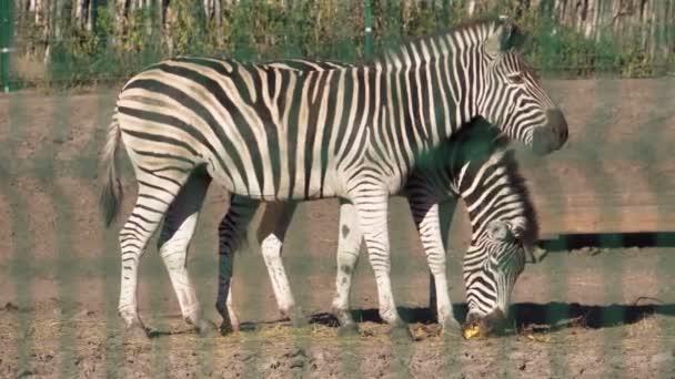 Pro dospělé zebry jíst dýně. Kopytníků. Malování černou a bílou. Národní park. Kryté zoo. Hřiště pro pěší. Světlo světa.