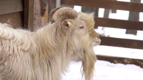 Bílý Kozel stál nedaleko od domu. Rezervovat území Divoké zvíře. Zimní sezóna. Bílý sníh. Dřevěný plot.