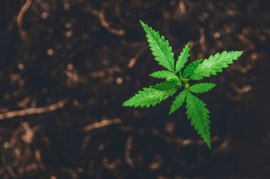 Young Marijuana on dark brown ground background with leaves cann