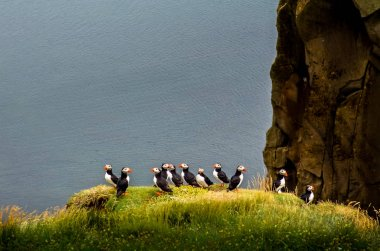 Ocean coastline landscape with flock of puffins standing on a cliff, Iceland, Europe
