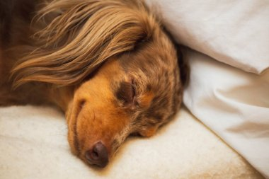 Close up of longhaired dapple dachshund laying and sleeping on a soft bed. Dog has brown, spotted fur.