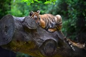 Fotografia tigre del Bengala in safari