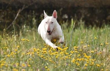 bull terrier in the green field