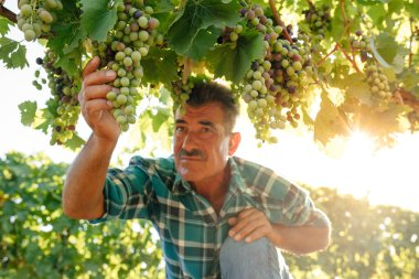 farmer examines the quality of the grapes, The harvesting.