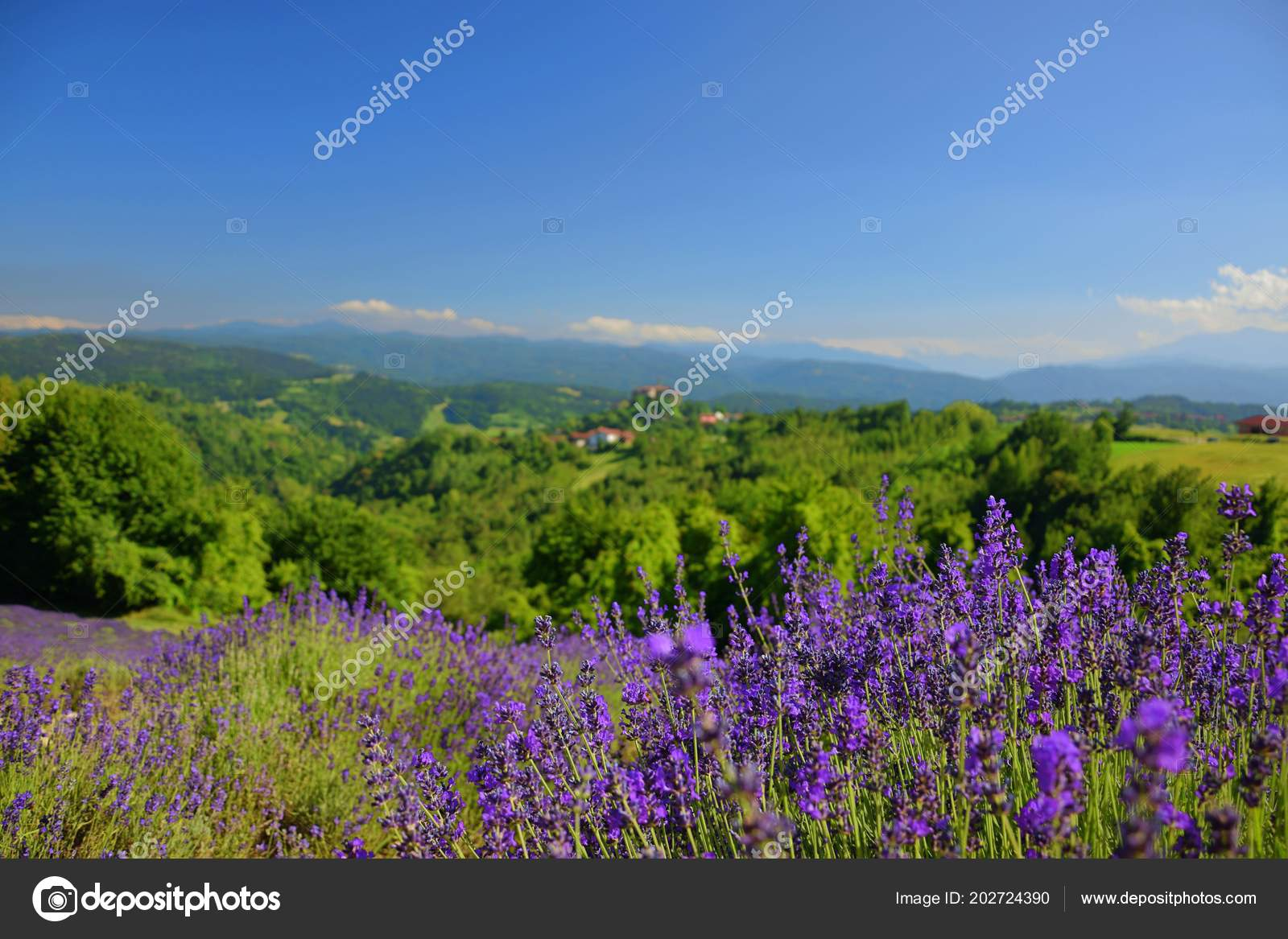 Lavender landscape flowers trees mountains blue sky stock photo lavender landscape flowers trees mountains blue sky stock photo izmirmasajfo