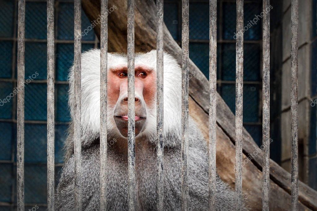 Funny portrait of a Hamadryas baboon in the cage in zoo