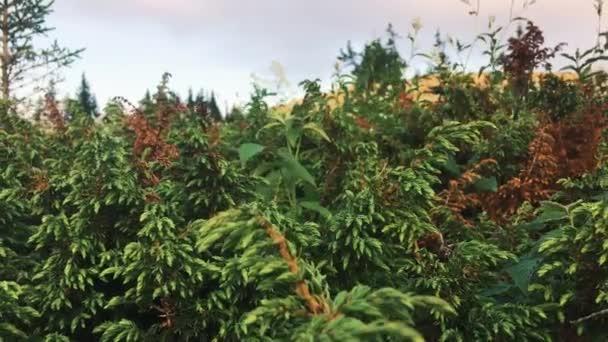 Zelené borové větve pohybující se ve větru při západu slunce