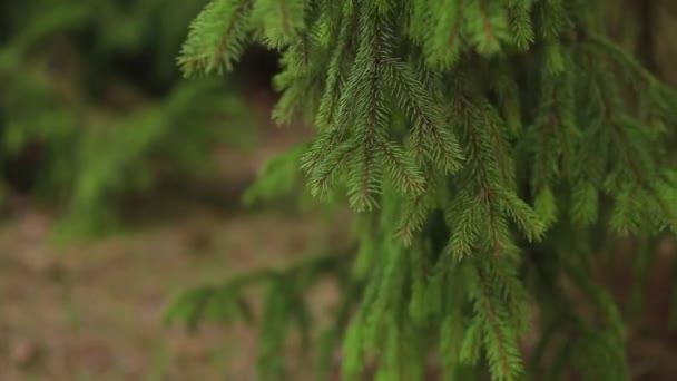 Tük nyári erdőben világos ága. Bolyhos fenyő fa ága, erdős. Gyönyörű környezetben, a vadon élő növények, a természet tartalék. A mély erdei fenyő. Nyári park természet jelenet