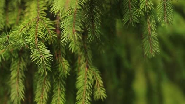 heller Zweig von Tannennadeln im Sommerwald. flauschige Kiefernzweige im Wald. wunderschöne Umgebung mit Wildpflanzen im Naturschutzgebiet. Tanne im tiefen Wald. Naturlandschaft Sommerpark