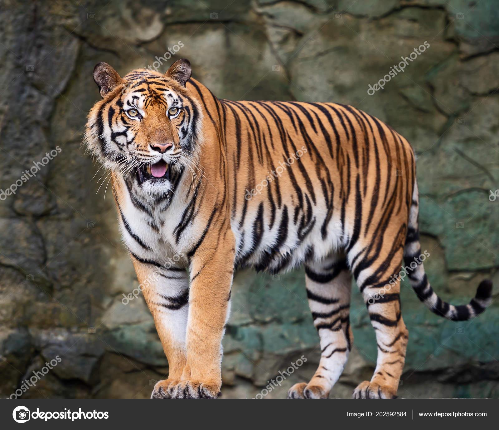 tigre indochine panthera tigris corbetti dans habitat