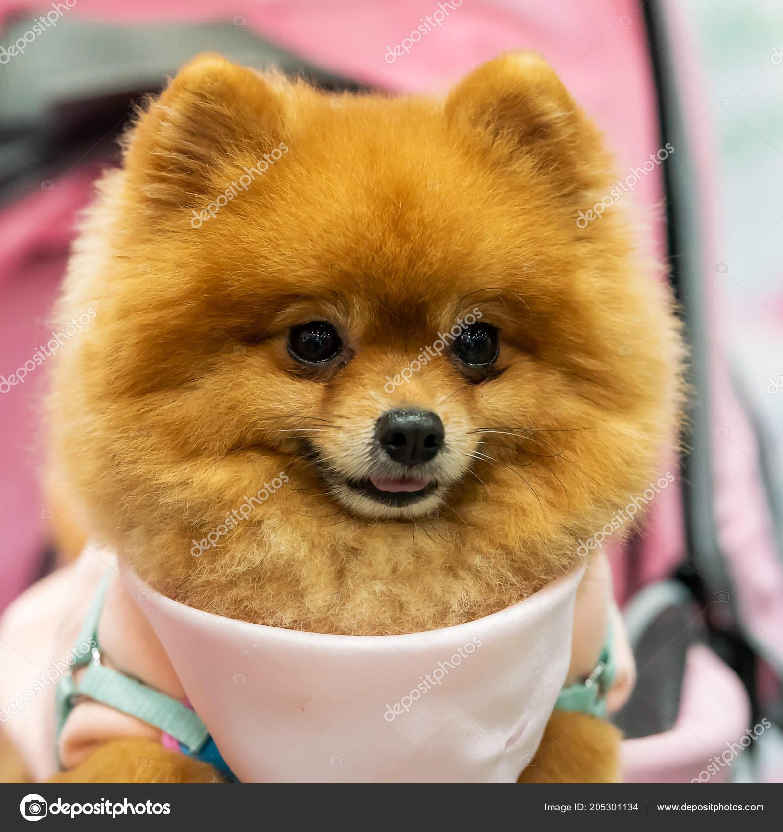Pomeranian Cute Dog Sit Trolley Supermarket — Stock Photo