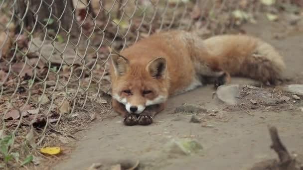 Red fox spí v kleci