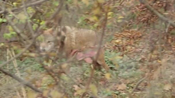 farkas keres zsákmányt, ősz