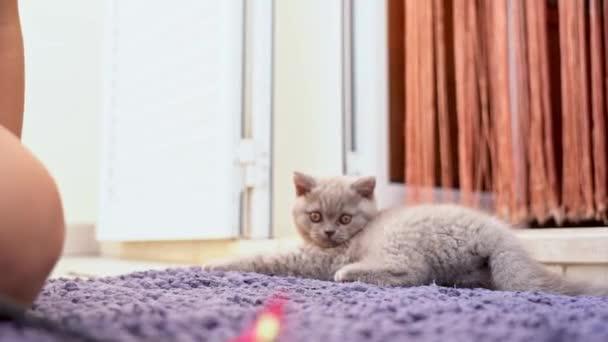 Halıda oyuncak olan bir çocukla İngiliz bir kedi yavrusu oynanıyor. Yavaş çekim.