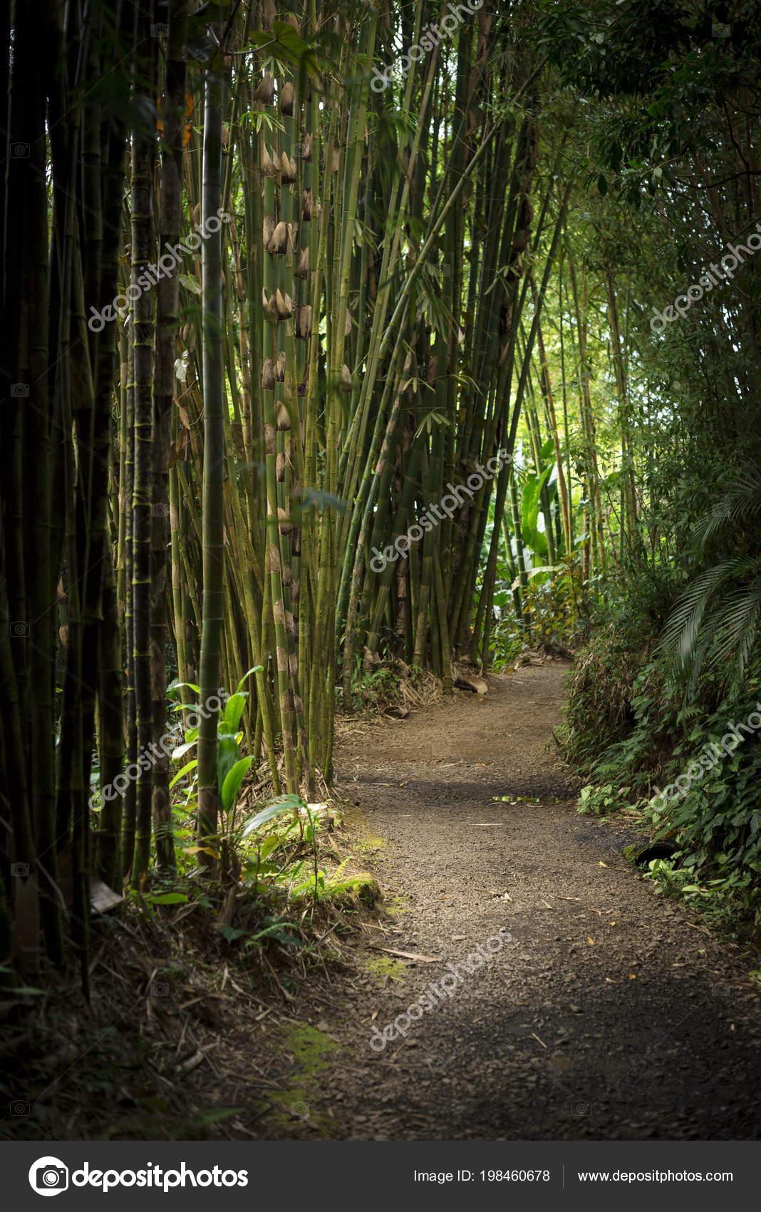 Einen Pfad Einem Bambuswald Maui Hawaii Stockfoto C Valevenezia