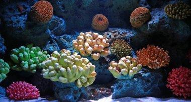 Corals in aquarium tank