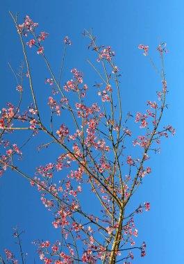Beautiful cherry blossom, Thai sakura in Chiang Mai. Thailand.