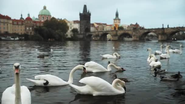 Praha, Česká republika. Bílé labutě, koupání v řece Vltavě. Starý Karlův most na pozadí