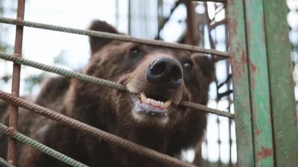 European Eurasian Brown Russian Bear Ursus Arctos Arctos Gnawing Cage In Zoo