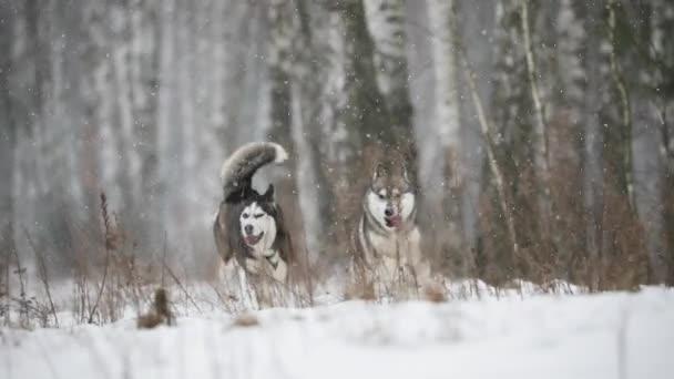 Dva sibiřský Husky psa legrační otáčkách venkovní v zasněženou plání zimního dne. Zpomalený pohyb, Slo-Mo