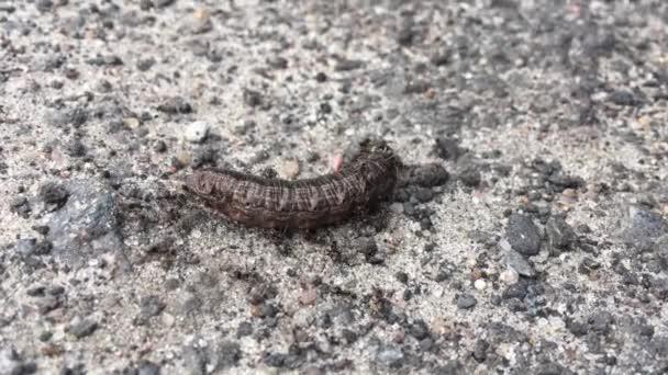 Belarus, Black Garden Ant Ants Or Lasius Niger Attacking Caterpillar