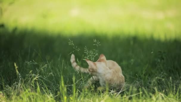 Funny Young Red Ginger Devon Rex Kitten In Green Grass. Short-haired Cat Of English Breed. Slow Motion, Slo-Mo.